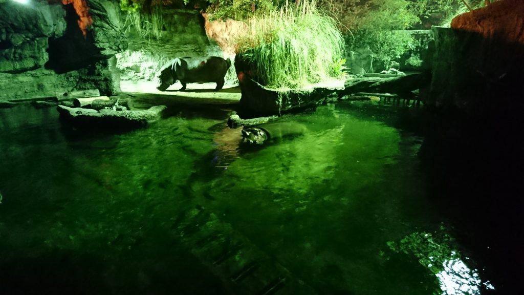 店王子動物園 カバ