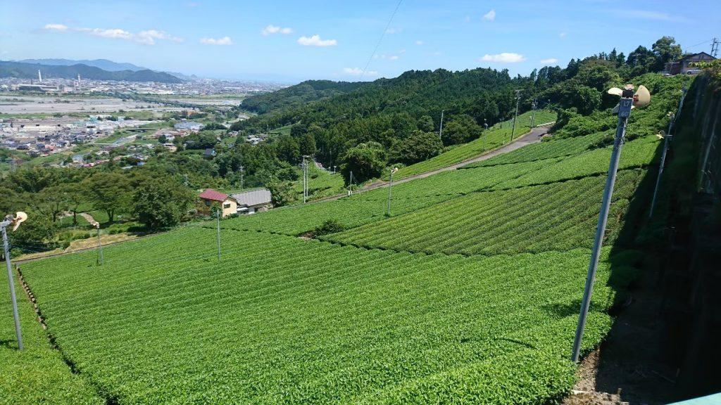 静岡お茶畑